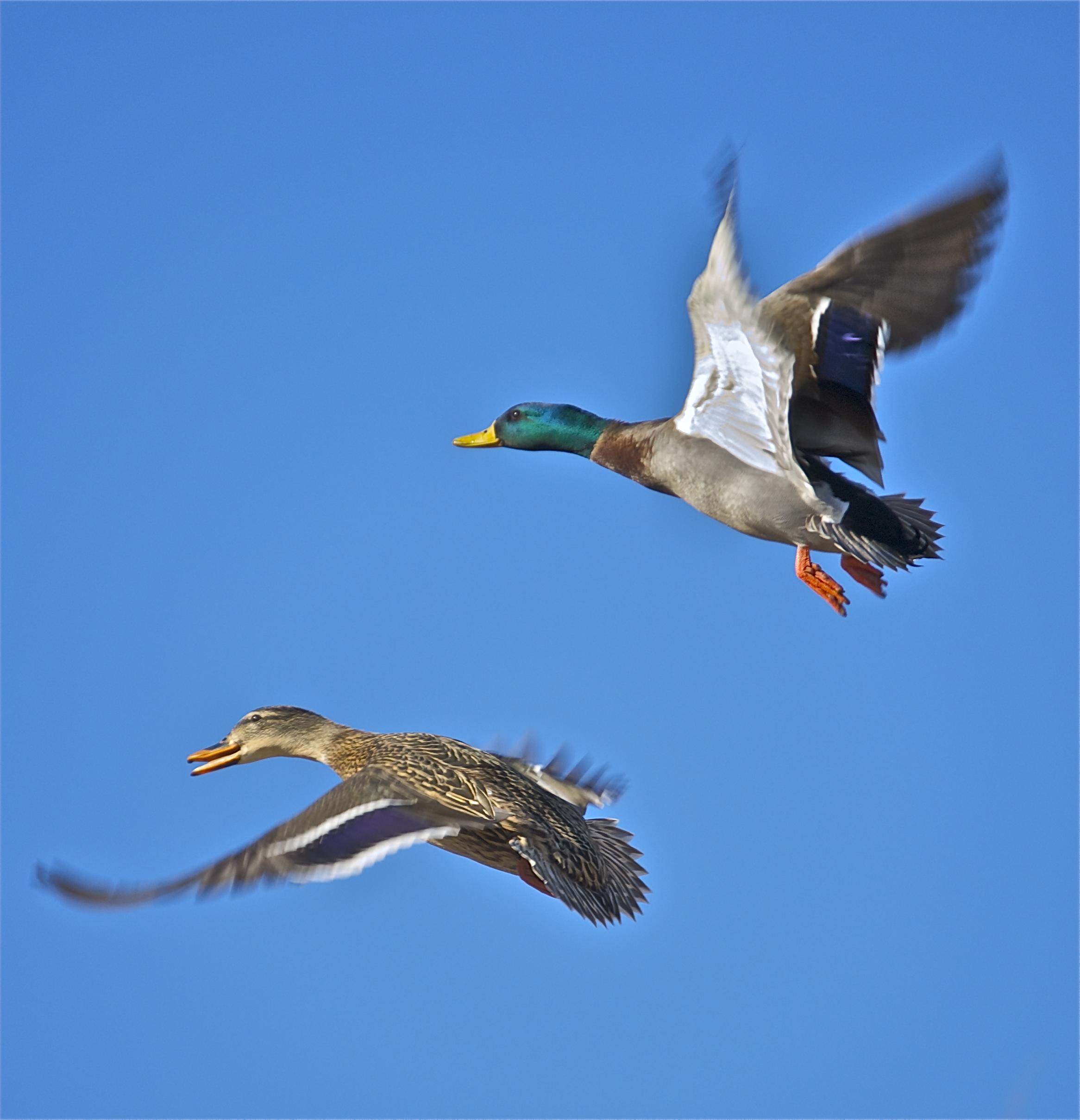 Image Gallery Mallard Flying