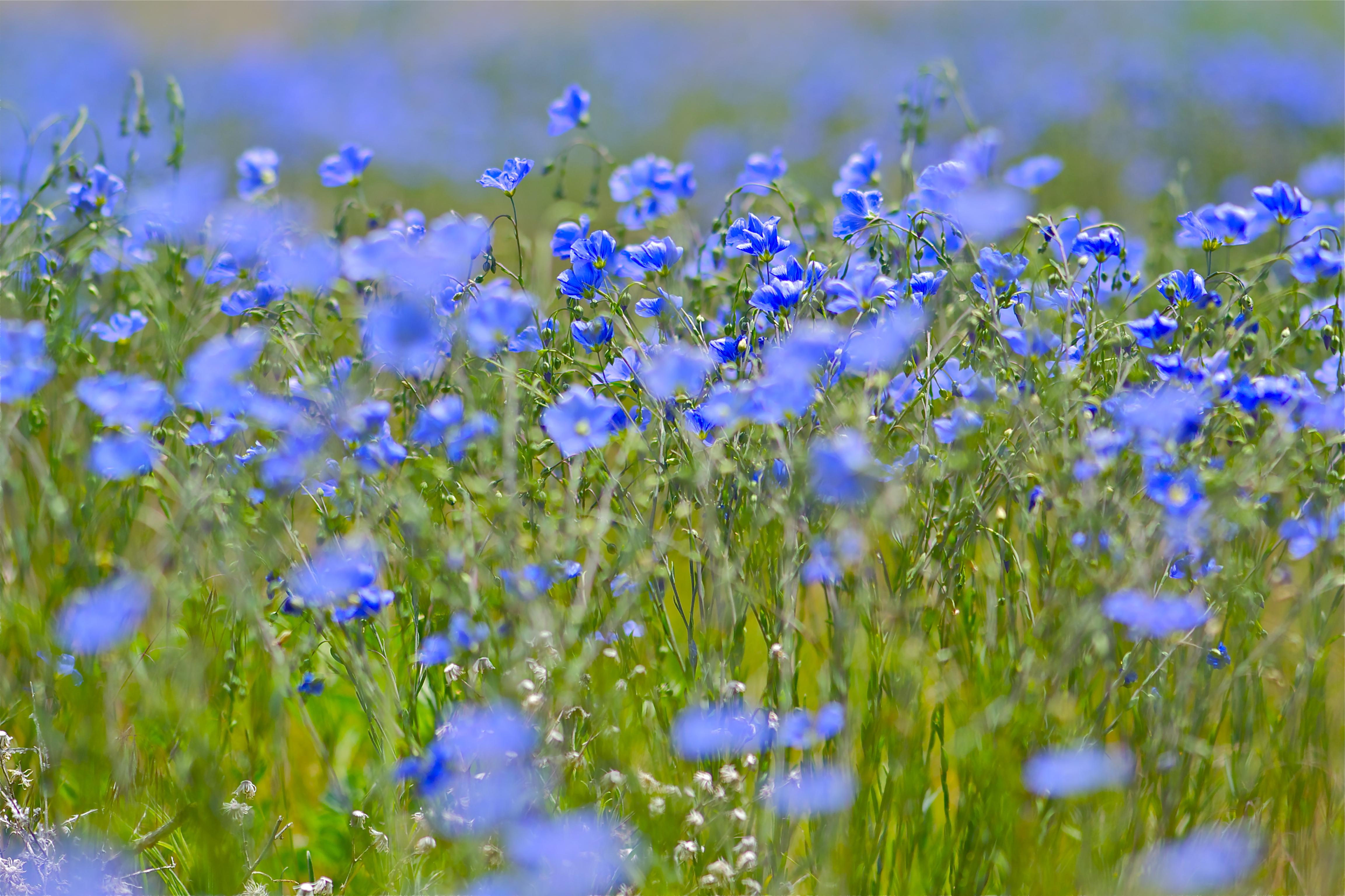 field of blue flowers pops mojo photos