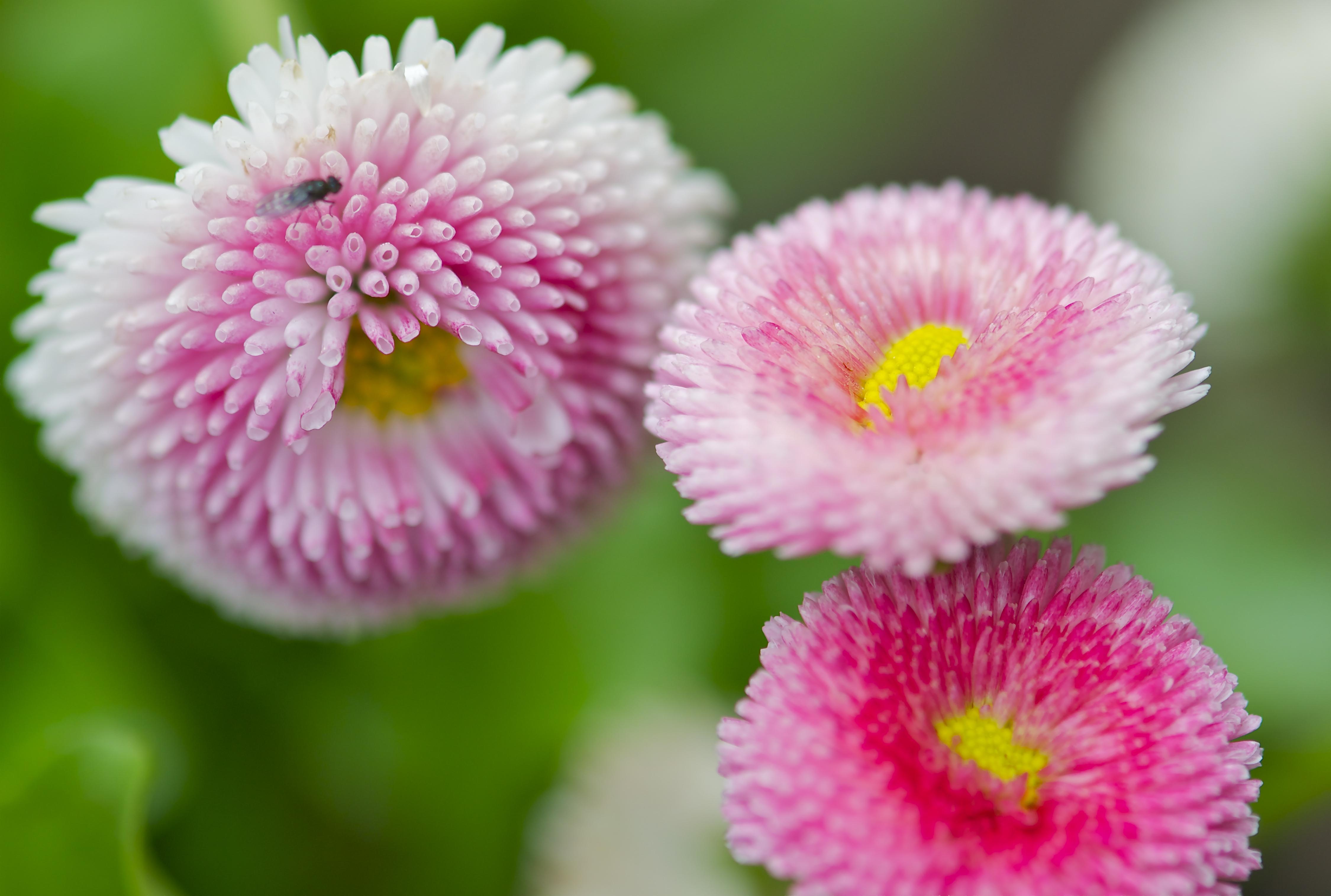 English daisies pops mojo photos share this izmirmasajfo