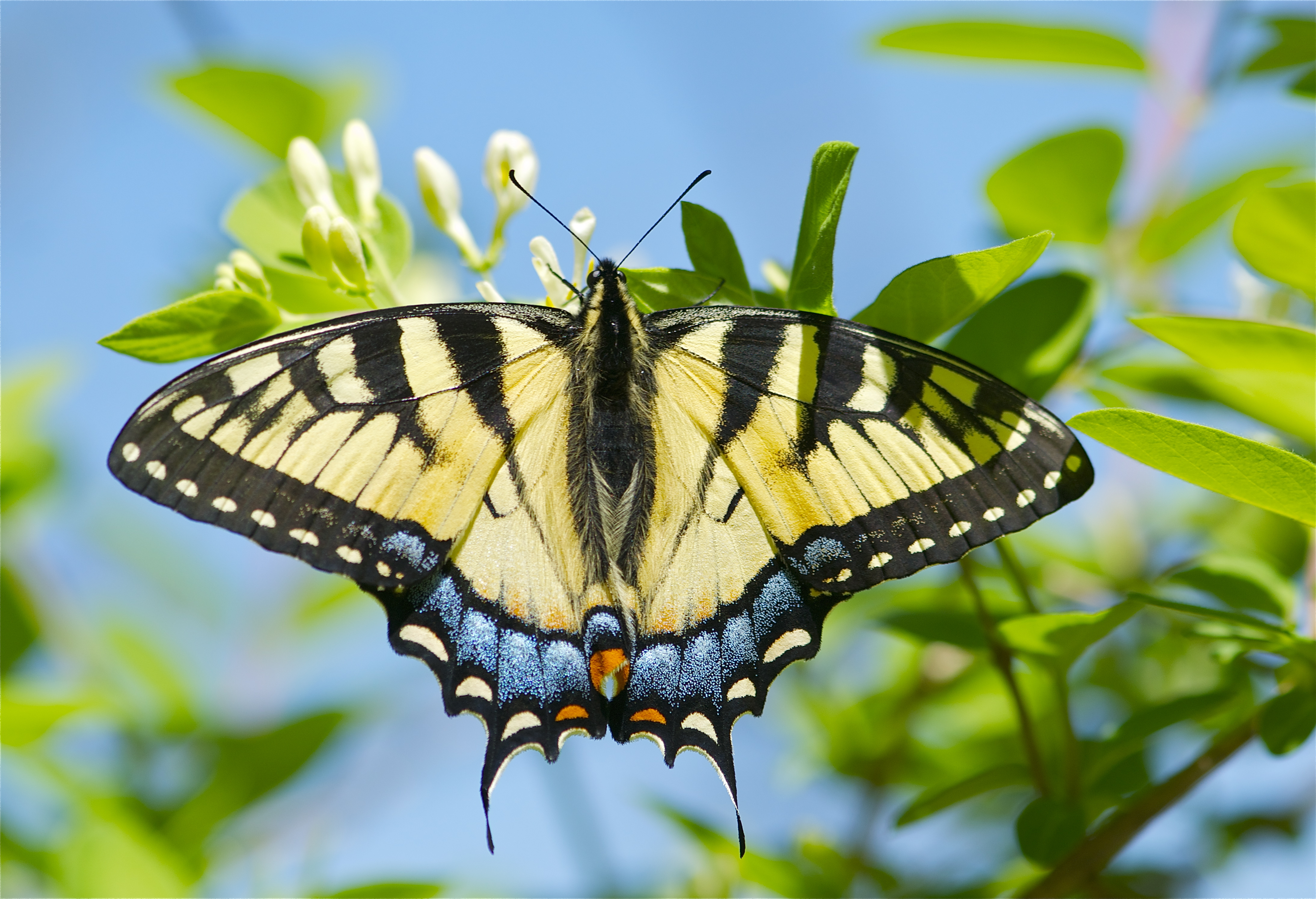 Butterfly Swallow Tail 42