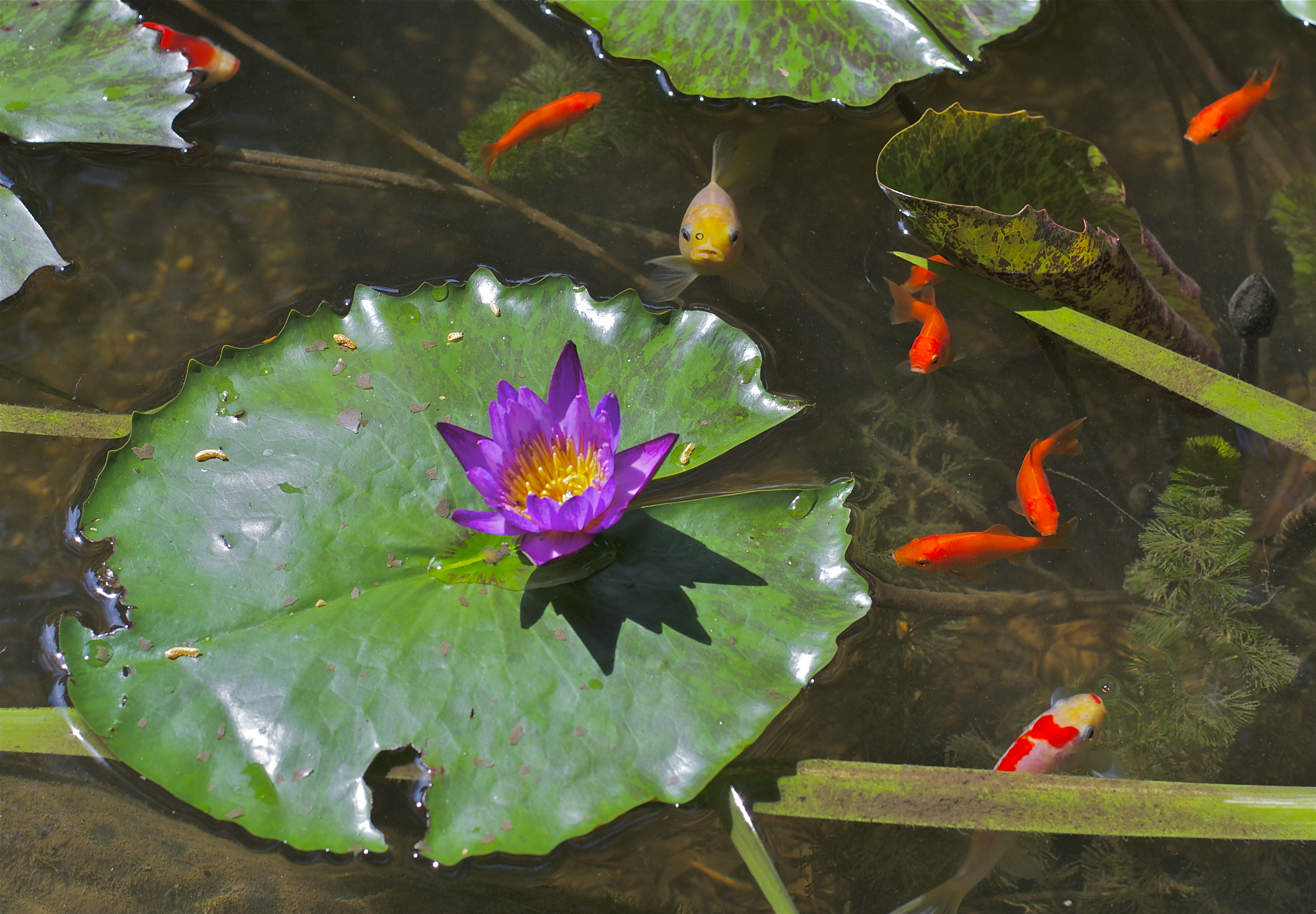 Fish pond pops mojo photos for Fish pond water