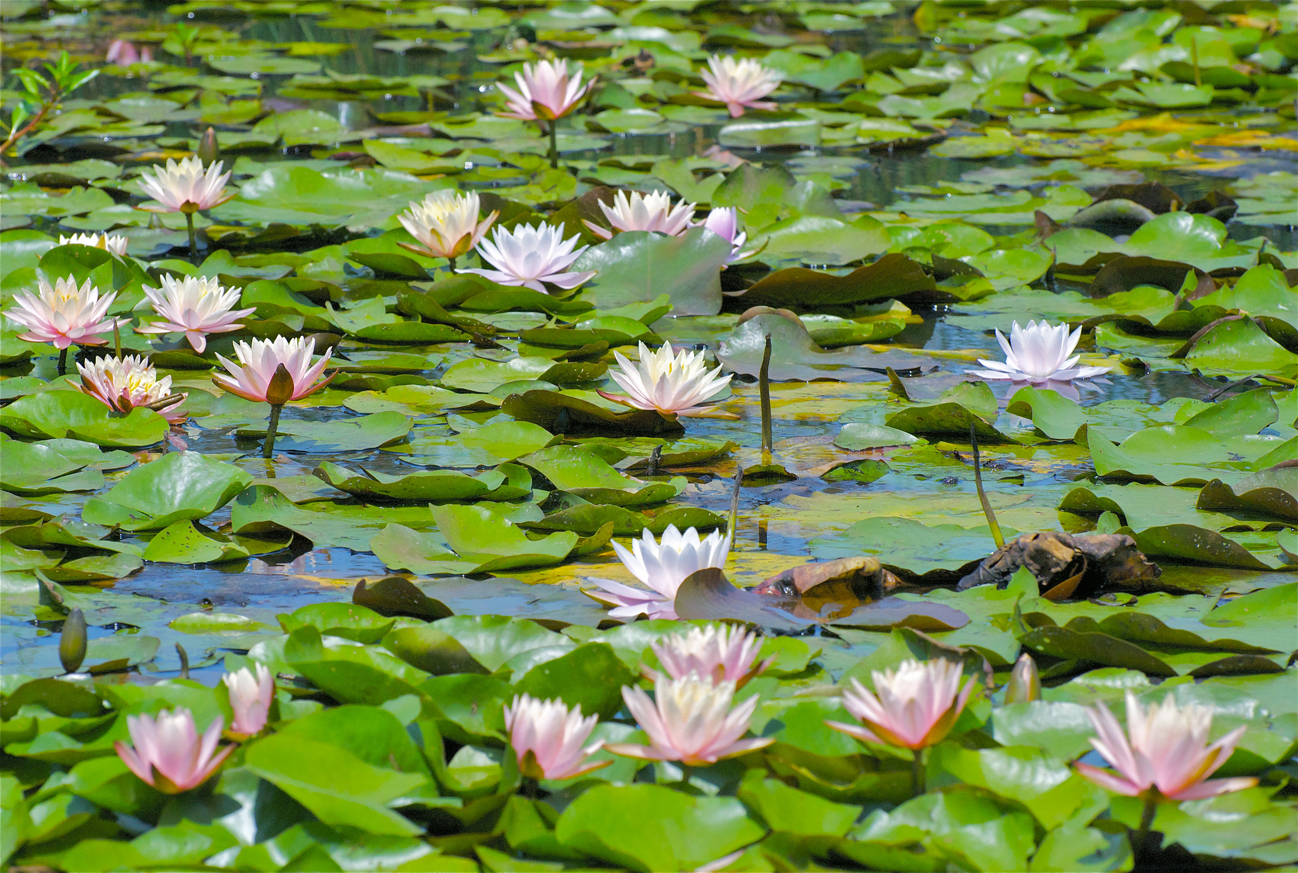 Lilypons Water Gardens Pops Mojo Photos