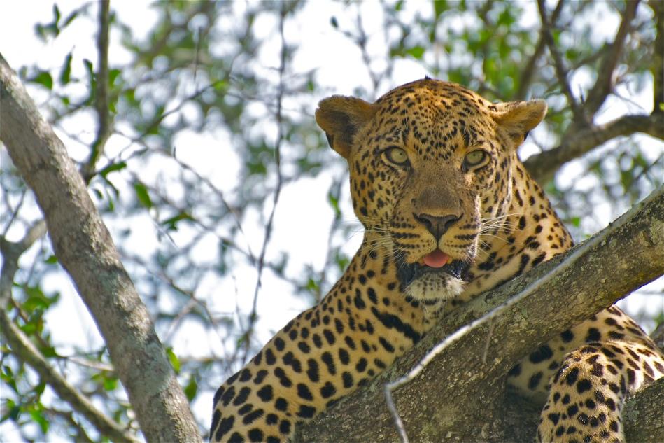 maleleopard