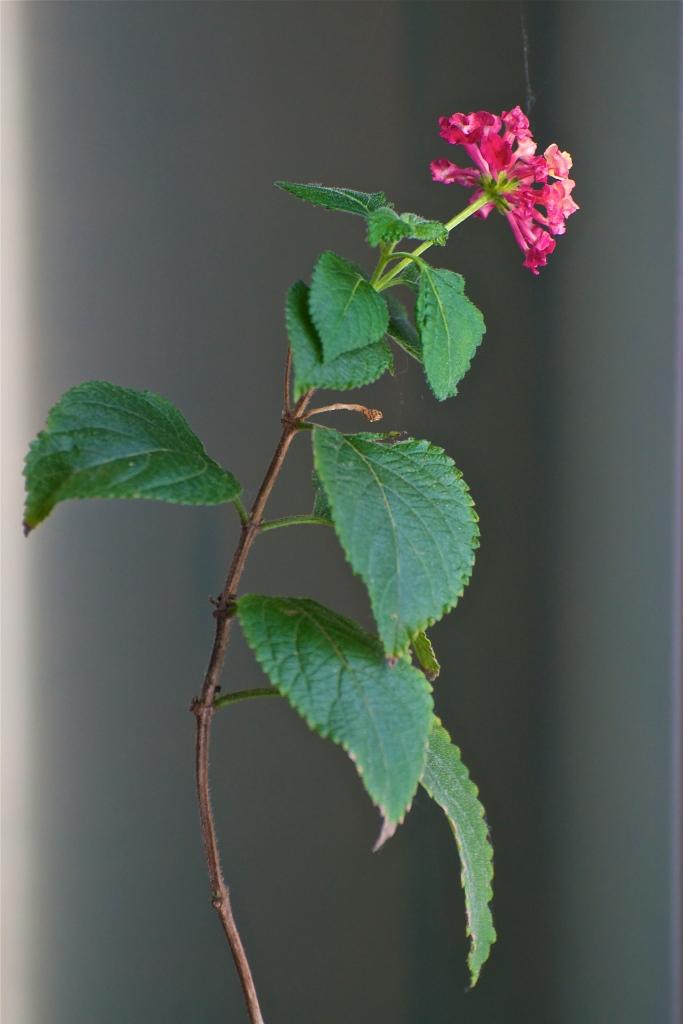 lantanaflower