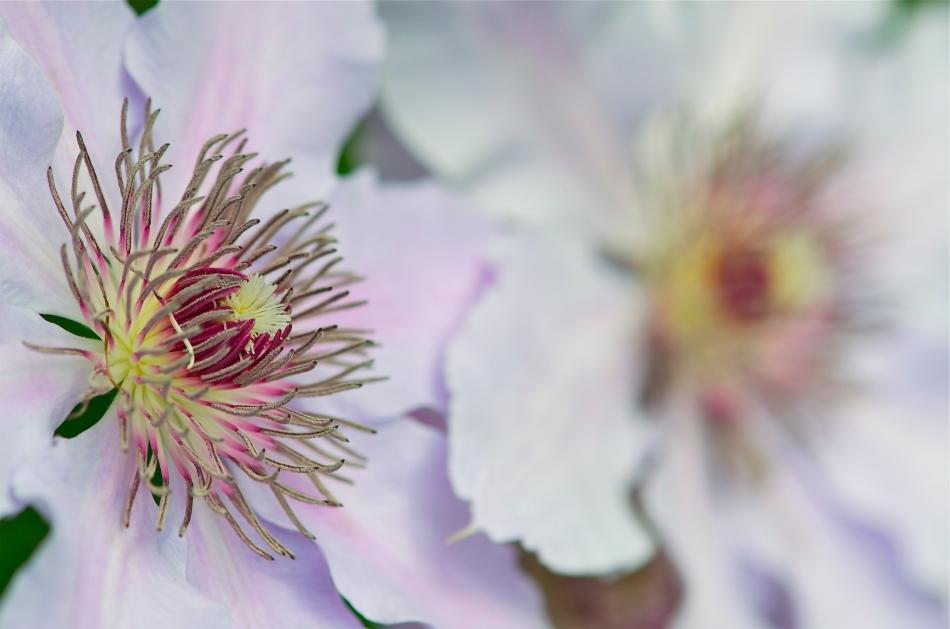 Pink Clematis Flower