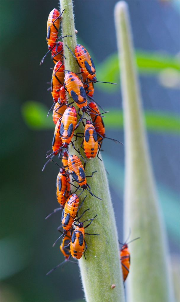 spotted orange beetles on butterfly weed
