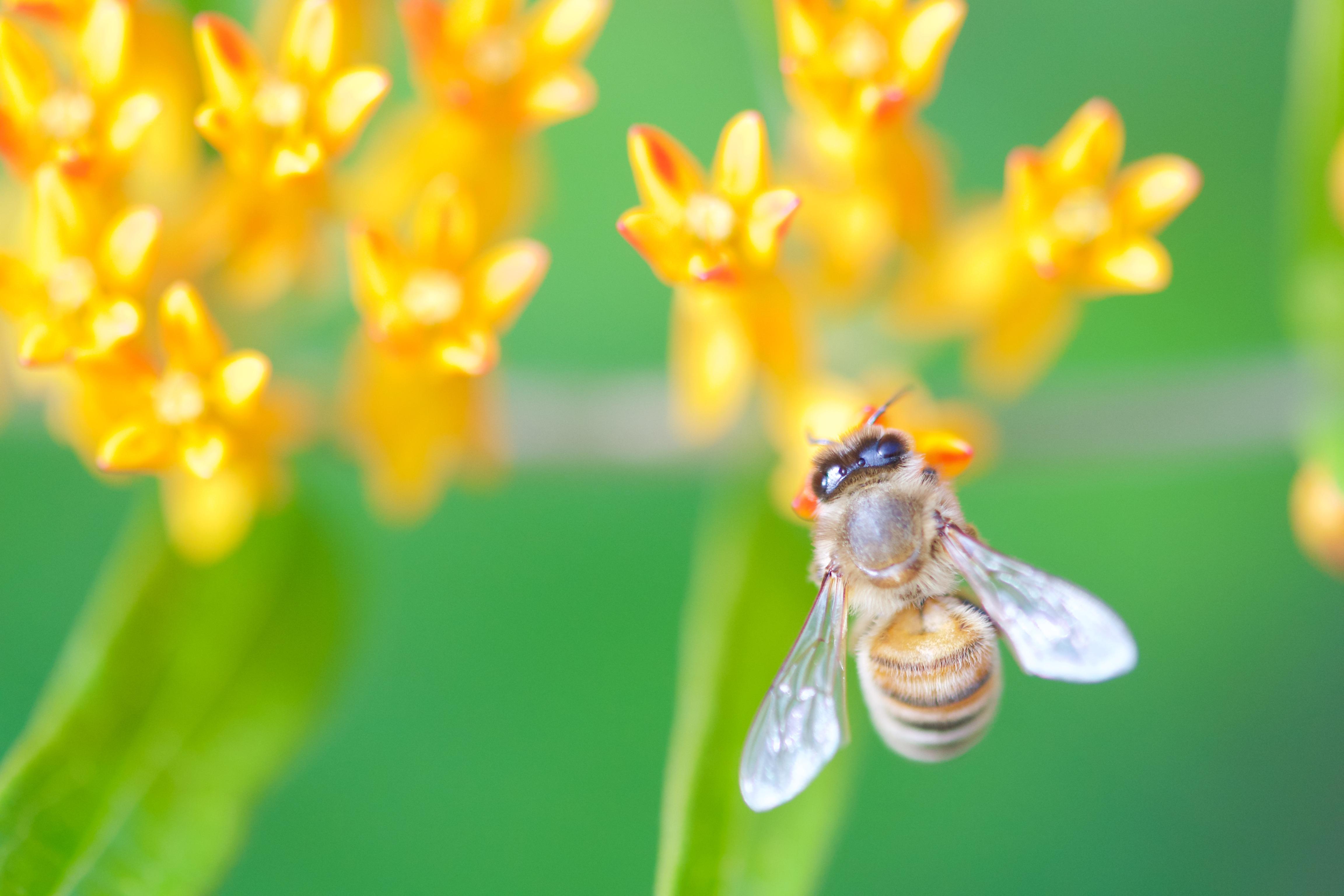 milkweedbee