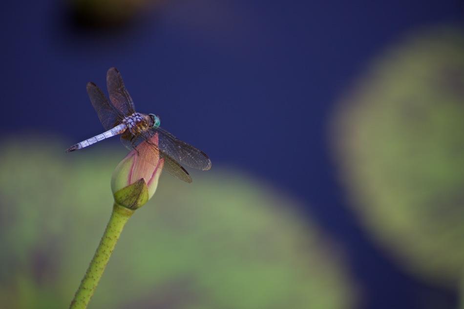 lotusdragon