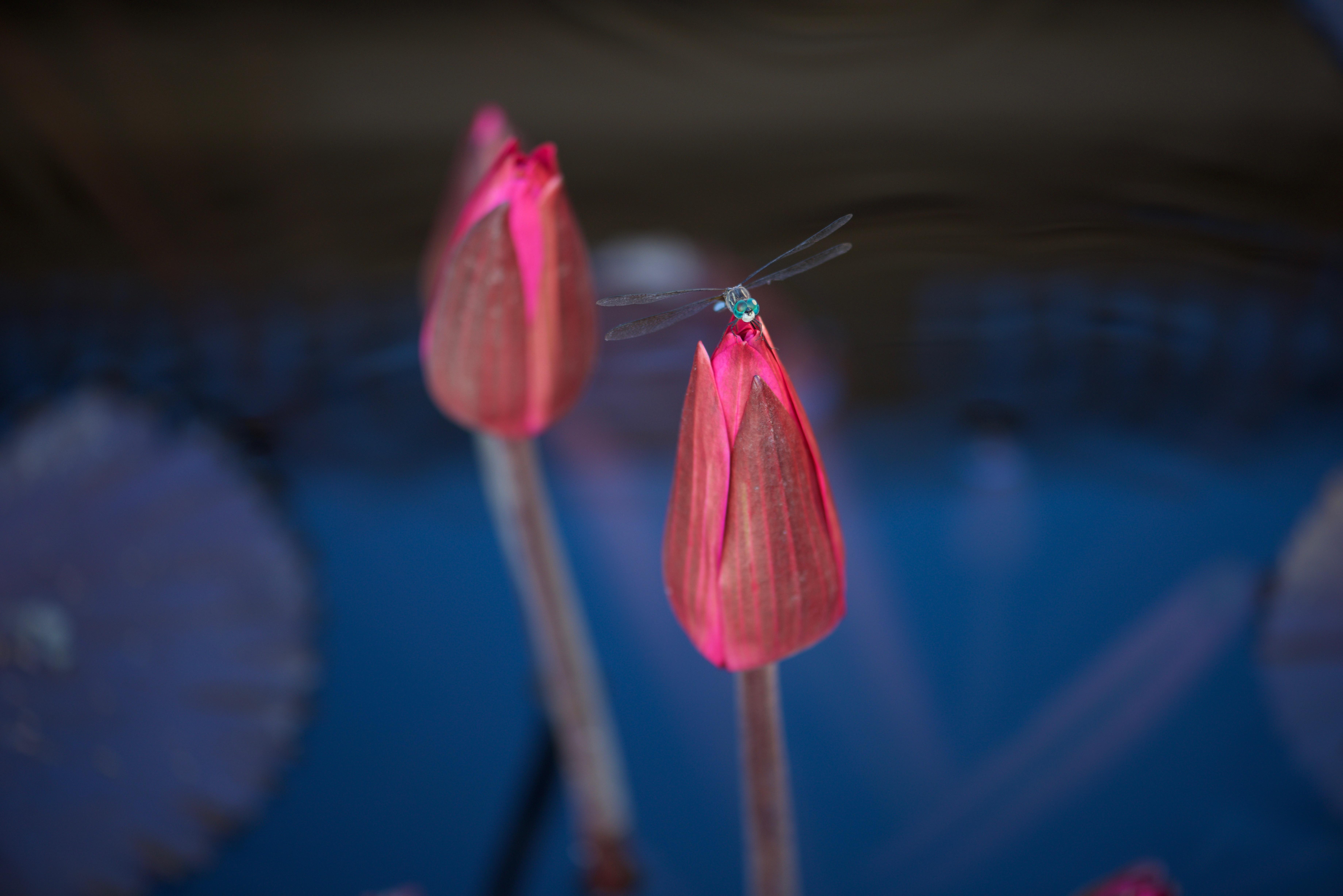 redlilies